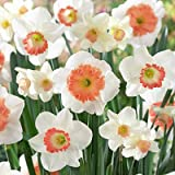Large Cupped Daffodil Bulbs Mixed Pink