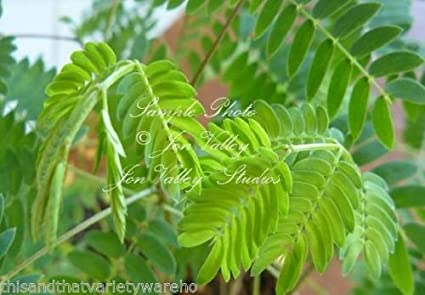 Amazon leucaena leucocephala wild tamarind seeds tropical leucaena leucocephala wild tamarind seeds tropical plants white flower clusters mightylinksfo