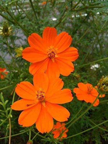 150-orange-sulphur-cosmos-klondike-sulphureus-seeds