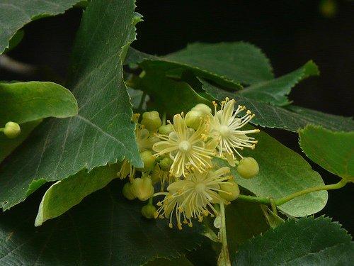 - Little Leaf Linden 3 - Year Seedling