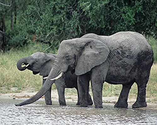 Lithograph Rare Art (Elephants Jungle Wildlife James Jones Photography Print Picture (Choose Size of Print))