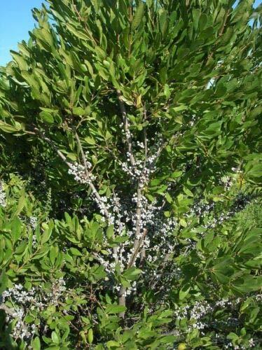 - Myrica pennsylvanica Northern Bayberry Seeds! Fragrant!
