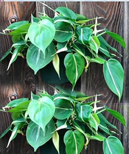pothos neon pothos plant pothos golden Philodendron Cordatum Silver Stripe plant Big