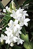 Stephanotis floribunda Madagascar Jasmine Vine Rare Exotic Flower Seed 10 Seeds