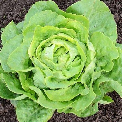 Seed Pelleted Lettuce - 100 Seeds Pelleted of Optima Lettuce Organic & Pelleted