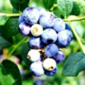 "Blueberry Plants ""Sweetcrisp"" Includes (4) Four Plants"