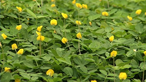 Ornamental Peanut Grass - Arachis Glabrata - 40 Live Plants - 2'' Pot Size - Fully Rooted Drought Tolerant Ground Cover by Florida Foliage (Image #4)