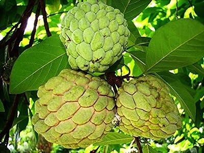 Special Annona Squamosa - Sugar Apple - Rare Tropical Plant Tree Seeds (10 Seeds)