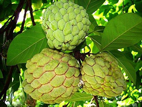 Annona Squamosa Sugar - Special Annona Squamosa - Sugar Apple - Rare Tropical Plant Tree Seeds (10 Seeds)