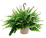 Kurt Weiss Greenhouses Live Boston Fern Plant in a 10'' Hanging Basket