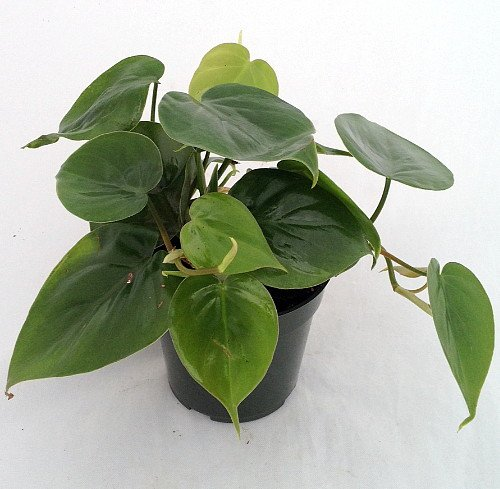 Heart Leaf Philodendron Easiest House Plant To Grow 4 Pot Live Plant