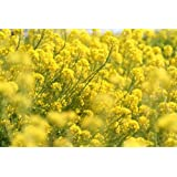 【種子】菜の花(アブラナ、、なたね) 5リットル入