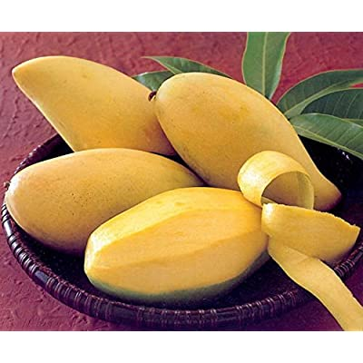 "3 seeds Thai Gold mango ""nam dok mai"" .Fresh Ready Sow Viable seeds : Garden & Outdoor"