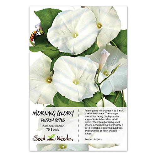 Ipomoea Morning Glory - Package of 75 Seeds, Pearly Gates Morning Glory (Ipomoea tricolor) Fresh & Untreated Seeds by Seed Needs