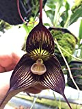 Dracula Vampira - Orchid Plant - Indigenous to Colombia