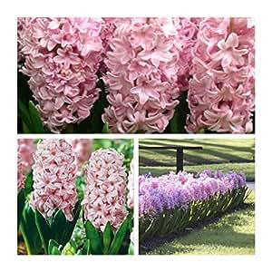 Humphreys Garden Hyacinth Jacintos Fondant x 5 Bulbs Bulbos de Flores