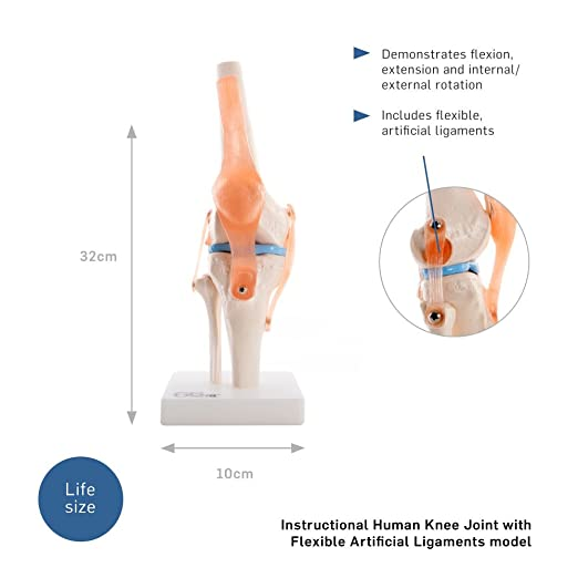 66fit anatomical human knee joint medical educational training aid 66fit anatomical human knee joint medical educational training aid amazon sports outdoors ccuart Gallery