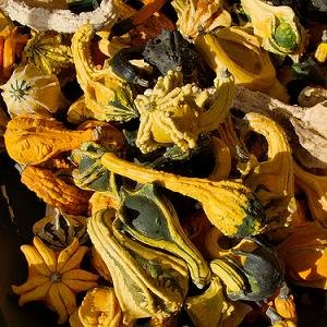 Gourd Ornamental Winged Mix 1,000 seeds