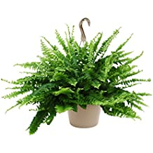 "Kurt Weiss Greenhouses Live Boston Fern Plant in a 10"" Hanging Basket"