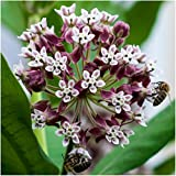 Package of 100 Seeds, Common Milkweed (Asclepias syriaca) Open Pollinated Seeds by Seed Needs USA