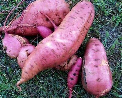 25 Sweet Potato, Carolina Ruby Plants - Organic Heirloom Vegetable Vine Slips