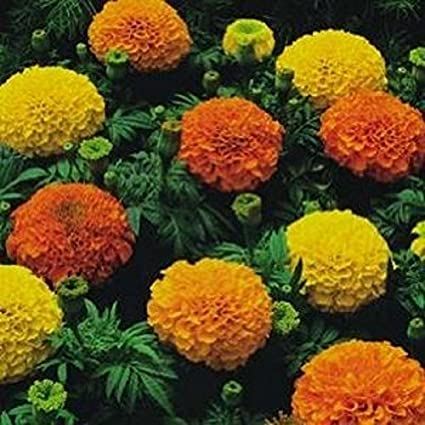 Amazon Com African Marigold Crackerjack Mix 200 Seeds 30 Tall