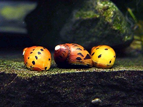 Aquatic Arts Nerite Snail Combo Pack: 5 Zebra, 5 Tiger | Algae Cleaner | Aquarium Background Accessories | Safe in Freshwater Tetra/Betta Fish Tank