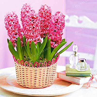 Kasuki 2020 New Hyacinthus Orientalis Bonsai Cheap Hyacinth Bonsai Hyacinth Potted Bonsai Balcony Flower Bonsai for Home Garden 50PCS - (Color: Mix): Garden & Outdoor