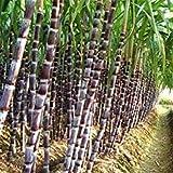 Plentree Seeds Package: Sugar-Cane Seeds Rum Syrup Sweet Rock Sugar Crystals Seed