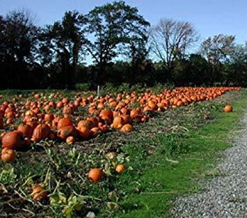 PlenTree Fresh Heirloom Non GMO Connecticut Field Pumpkin - 50 Seeds - Pies Canning