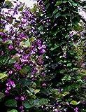 "Hyacinth Bean Plant (2 Plants) 15"" Tall from Bamboo Cove Farm"
