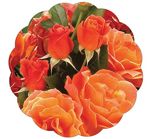 Stargazer Perennials Living Easy Rose Plant - Potted Orange Flowers Livin Easy Own ()