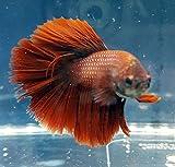 Betta Splendens Siamese Male Fighting Fish