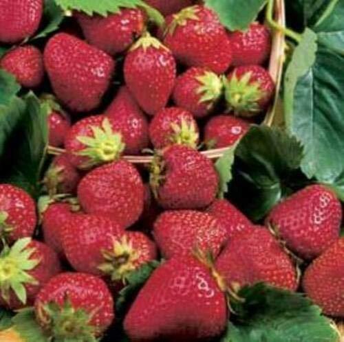 Strawberry 'HONEOYE' - 25 Plants. Perennial. Plant.