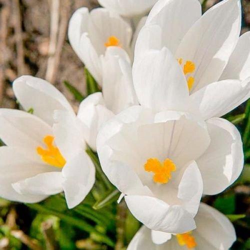 6ac59c5c4239c Amazon.com   Jeanne D Arc Giant Crocus Bulbs -Perennial Spring Blooming    Garden   Outdoor
