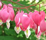 (1) Beautiful Flowering Pink Bleeding Heart, Dicentra Spectabilis Root, Plant