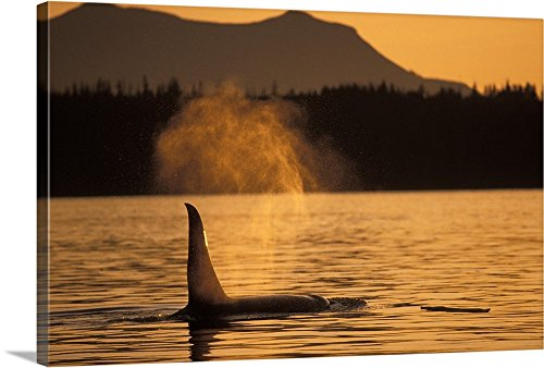 Canvas on Demand Premium Thick-Wrap Canvas Wall Art Print entitled Orca Killer Whale Vancouver Canada 36