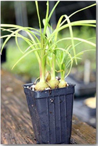 (Ponytail Palm Beaucarnia Recurvata Live Plant)