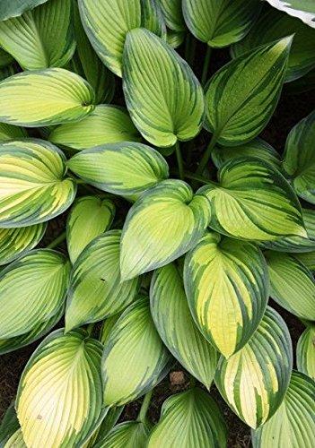 1 Starter Plant Hosta June in Gallon Pot