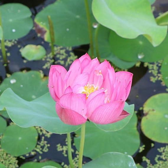 Beautytalk Seeds Mini Water Lotus Lotus Seeds Hydroponic Aquatic Plant Bonsai Lotus Seed Perennial Flower Seeds Rarities Houseplants