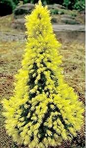 50pcs / bag japonesa raras semillas amarillas del árbol de pino de Bonsai Pinus Thunbergii Semillas Jardín de Invierno de Navidad de Kawaii plantas verdes gratuito de envío