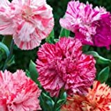 Outsidepride Carnation Chabaud Picotee Mix - 1000 Seeds