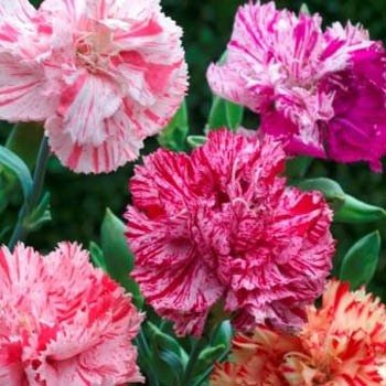 23c181e75002 Amazon.com   Outsidepride Carnation Chabaud Picotee Mix - 1000 Seeds    Flowering Plants   Garden   Outdoor