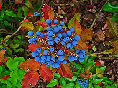20 OREGON GRAPE Holly Fruit Vine Hollyleaved Barberry Mahonia Aquifolium Seeds