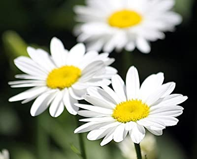 Becky Shasta Daisy - Leucanthemum - 2003 Plant of the Year - Quart Pot
