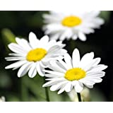 Becky Shasta Daisy - Leucanthemum - 2003 Plant of the Year - Quart Pot