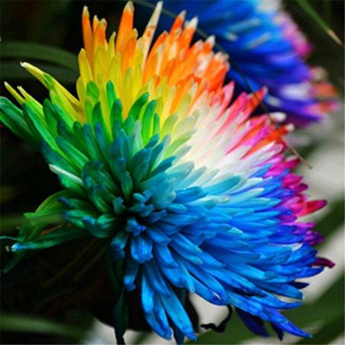 100pcs/lot Rainbow Chrysanthemum Flower Seeds Livingstone Daisy Seeds Rare Color DIY For Home Garden Outdoor - Livingstone Garden