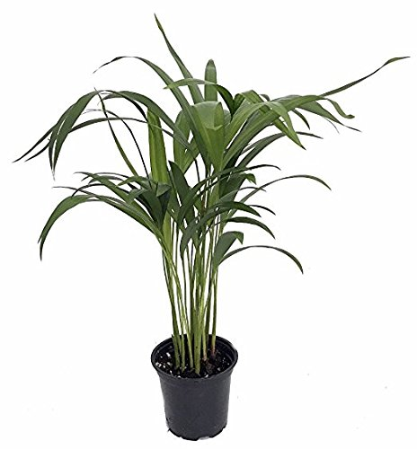 Collection of Five Fantastic Clean Air Plants for Your Home or Office - Beautiful - Florist Quality - Golden Pothos - Parlor Palm - Areca Palm - Asparagus Plumosus - Snake Plant by Florida Foliage (Image #7)