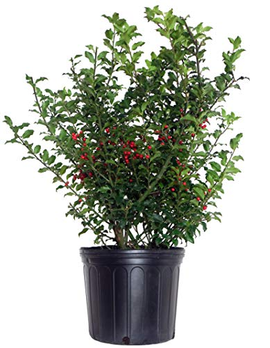 Ilex X meserveae 'Blue Princess' (Blue Holly) Evergreen, #3 - Size Container (Holly Bush Berries)