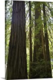 Redwoods in Muir Woods National Monument, Marin County, California Gallery-Wrapped Canvas#Variations